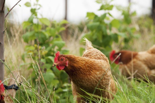 Calling time on intensive chicken farming